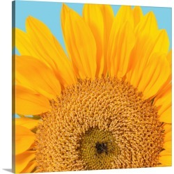 Large Solid-Faced Canvas Print Wall Art Print 20 x 20 entitled Fragment of a single sunflower head (Helianthus sp.) isolat...
