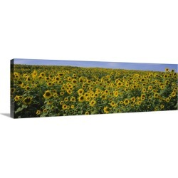 Large Gallery-Wrapped Canvas Wall Art Print 36 x 12 entitled Sunflowers (Helianthus annuus) in a field, Michigan