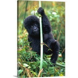 Large Gallery-Wrapped Canvas Wall Art Print 20 x 30 entitled Close-Up Of Young Gorilla, Looking At Camera