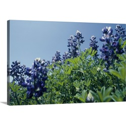 Large Gallery-Wrapped Canvas Wall Art Print 24 x 16 entitled Texas Bluebonnet Flowers