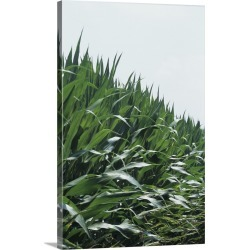 Large Solid-Faced Canvas Print Wall Art Print 20 x 30 entitled Corn field