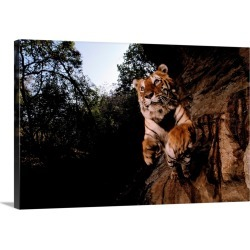Large Gallery-Wrapped Canvas Wall Art Print 30 x 20 entitled A remote camera captures a leaping tiger