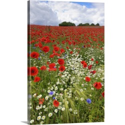 Large Solid-Faced Canvas Print Wall Art Print 20 x 30 entitled Field with flowering Red Poppies (Papaver rhoeas) and other...
