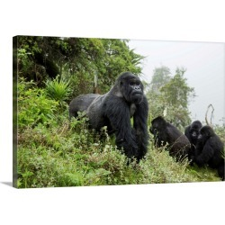 Large Solid-Faced Canvas Print Wall Art Print 30 x 20 entitled A mountain gorilla silverback on Mount Karisimbi in Norther...