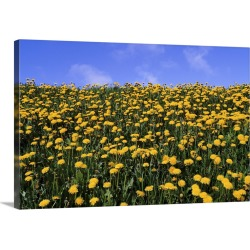 Large Gallery-Wrapped Canvas Wall Art Print 30 x 20 entitled Close-up of dandelion flowers in a field, Iceland