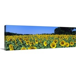 Large Gallery-Wrapped Canvas Wall Art Print 36 x 12 entitled Sunflowers in a field, Provence, France