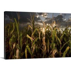 Large Solid-Faced Canvas Print Wall Art Print 30 x 20 entitled Corn field, Nebraska