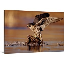 Large Gallery-Wrapped Canvas Wall Art Print 24 x 16 entitled Peregrine Falcon adult in protective stance standing on downe... found on Bargain Bro India from Great Big Canvas - Dynamic for $214.99
