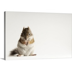 Large Solid-Faced Canvas Print Wall Art Print 30 x 20 entitled A Mount Graham red squirrel, one of the rarest animals in N...