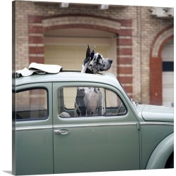 Large Gallery-Wrapped Canvas Wall Art Print 16 x 16 entitled Great Dane sticking its head out of the sunroof of a Volkswagen