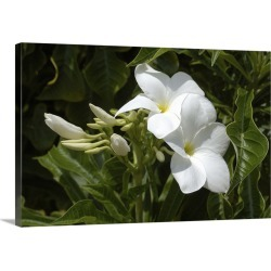 Large Solid-Faced Canvas Print Wall Art Print 30 x 20 entitled Aruba, Palm Beach, white flowers