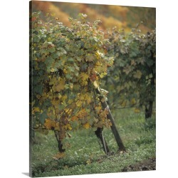 Large Solid-Faced Canvas Print Wall Art Print 24 x 30 entitled Grape vines in a vineyard, Piedmont, Italy