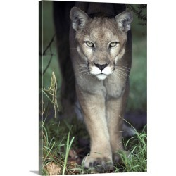 Large Gallery-Wrapped Canvas Wall Art Print 16 x 24 entitled A mesmerising glare of a stalking Puma hunting prey found on Bargain Bro India from Great Big Canvas - Dynamic for $224.99