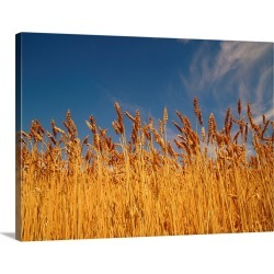 Large Solid-Faced Canvas Print Wall Art Print 40 x 30 entitled Close-up of stalks of wheat in field