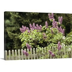 Large Solid-Faced Canvas Print Wall Art Print 30 x 20 entitled A lilac tree grows near a picket fence