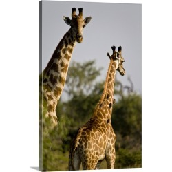 Large Gallery-Wrapped Canvas Wall Art Print 16 x 24 entitled South Africa, Madikwe game reserve, two giraffes found on Bargain Bro India from Great Big Canvas - Dynamic for $214.99