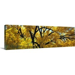Large Solid-Faced Canvas Print Wall Art Print 48 x 16 entitled Cottonwood Trees Taos NM