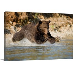 Large Gallery-Wrapped Canvas Wall Art Print 24 x 16 entitled Grizzly Bear Hunting Spawning Salmon In River At Kinak Bay found on Bargain Bro India from Great Big Canvas - Dynamic for $214.99