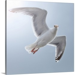 Large Gallery-Wrapped Canvas Wall Art Print 20 x 20 entitled Seagull looks straight into camera from sky.