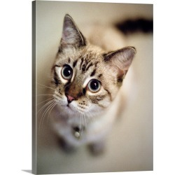 Large Gallery-Wrapped Canvas Wall Art Print 23 x 30 entitled Young cat wearing bell looks up at camera in Tualatin, Oregon.