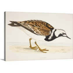 Large Solid-Faced Canvas Print Wall Art Print 30 x 20 entitled A Turnstone, From A 19th Century Print Circa 1877