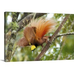 Large Gallery-Wrapped Canvas Wall Art Print 24 x 16 entitled A Raggiana Bird-of-paradise performs a display in the Kiburu ... found on Bargain Bro India from Great Big Canvas - Dynamic for $224.99