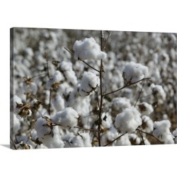 Large Gallery-Wrapped Canvas Wall Art Print 30 x 20 entitled Close-up of cotton plants in a field, Wellington, Texas