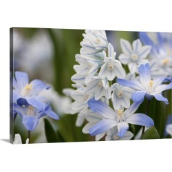 Large Gallery-Wrapped Canvas Wall Art Print 30 x 20 entitled Close up of glory-of-the-snow flowers, Chionodoxa species