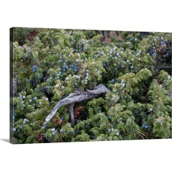 Large Solid-Faced Canvas Print Wall Art Print 30 x 20 entitled Juniper berries on a tree in autumn