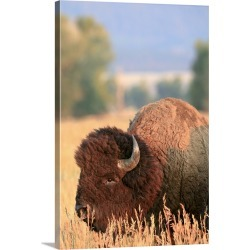 Large Solid-Faced Canvas Print Wall Art Print 20 x 30 entitled A bull bison in full rut in Grand Teton National Park, Wyoming