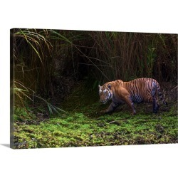 Large Gallery-Wrapped Canvas Wall Art Print 30 x 20 entitled A remote camera captures a Bengal tiger in Kaziranga National...