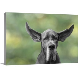 Large Gallery-Wrapped Canvas Wall Art Print 24 x 16 entitled Great Dane with flying ears
