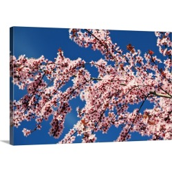 Large Solid-Faced Canvas Print Wall Art Print 30 x 20 entitled Cherry Blossoms On A Tree In Spring, Oregon