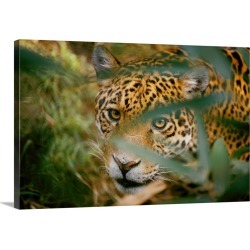 Large Gallery-Wrapped Canvas Wall Art Print 30 x 20 entitled A Jaguar, peers through leaves at the camera, Pantanal Swamps...
