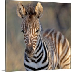 Large Gallery-Wrapped Canvas Wall Art Print 16 x 16 entitled Plains zebra foal, Mkuze Game Reserve, KwaZulu-Natal Province... found on Bargain Bro India from Great Big Canvas - Dynamic for $164.99