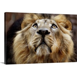 Large Gallery-Wrapped Canvas Wall Art Print 24 x 16 entitled A Lion In Captivity Looking Up