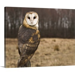 Large Solid-Faced Canvas Print Wall Art Print 30 x 24 entitled Barn Owl looking at camera.