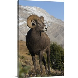 Large Gallery-Wrapped Canvas Wall Art Print 20 x 30 entitled Rocky Mountain BIghorn Sheep Ram found on Bargain Bro India from Great Big Canvas - Dynamic for $209.99