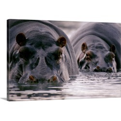 Large Gallery-Wrapped Canvas Wall Art Print 30 x 20 entitled Two hippopotamuses stare at the camera, Ruwenzori National Pa...