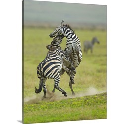 Large Gallery-Wrapped Canvas Wall Art Print 23 x 30 entitled Two zebras fighting in a field, Ngorongoro Conservation Area,...