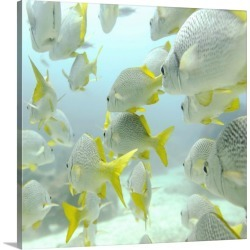 Large Gallery-Wrapped Canvas Wall Art Print 16 x 16 entitled A School Of Yellow-Tailed Grunt Fish  Swimming Underwater; Ga... found on Bargain Bro India from Great Big Canvas - Dynamic for $164.99