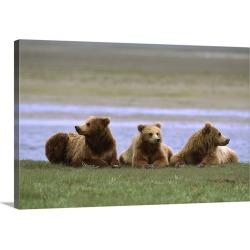 Large Gallery-Wrapped Canvas Wall Art Print 30 x 20 entitled Grizzly Bear juveniles, Katmai National Park, Alaska
