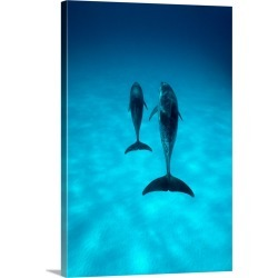 Large Gallery-Wrapped Canvas Wall Art Print 20 x 30 entitled A pair of spotted dolphins sail past the camera off the coast...