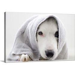 Large Gallery-Wrapped Canvas Wall Art Print 24 x 16 entitled Border Collie wrapped in a towel