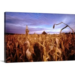 Large Solid-Faced Canvas Print Wall Art Print 30 x 20 entitled Dried corn field