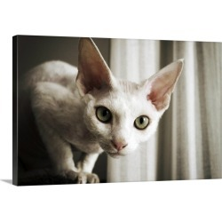 Large Gallery-Wrapped Canvas Wall Art Print 30 x 20 entitled Devon Rex Cat looking at camera.