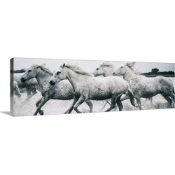 Large Solid-Faced Canvas Print Wall Art Print 48 x 16 entitled White Camargue horses running on the beach in France