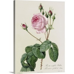 Large Solid-Faced Canvas Print Wall Art Print 30 x 40 entitled Rosa Centifolia Bullata, from Les Roses, 19th century