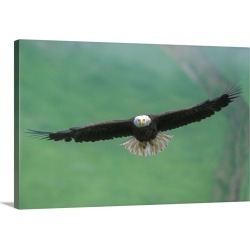 Large Gallery-Wrapped Canvas Wall Art Print 24 x 16 entitled A bald eagle in flight