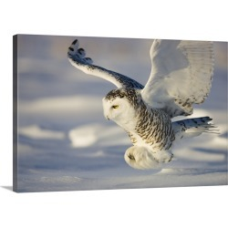 Large Gallery-Wrapped Canvas Wall Art Print 24 x 16 entitled Snowy Owl In Flight Hunting found on Bargain Bro India from Great Big Canvas - Dynamic for $214.99